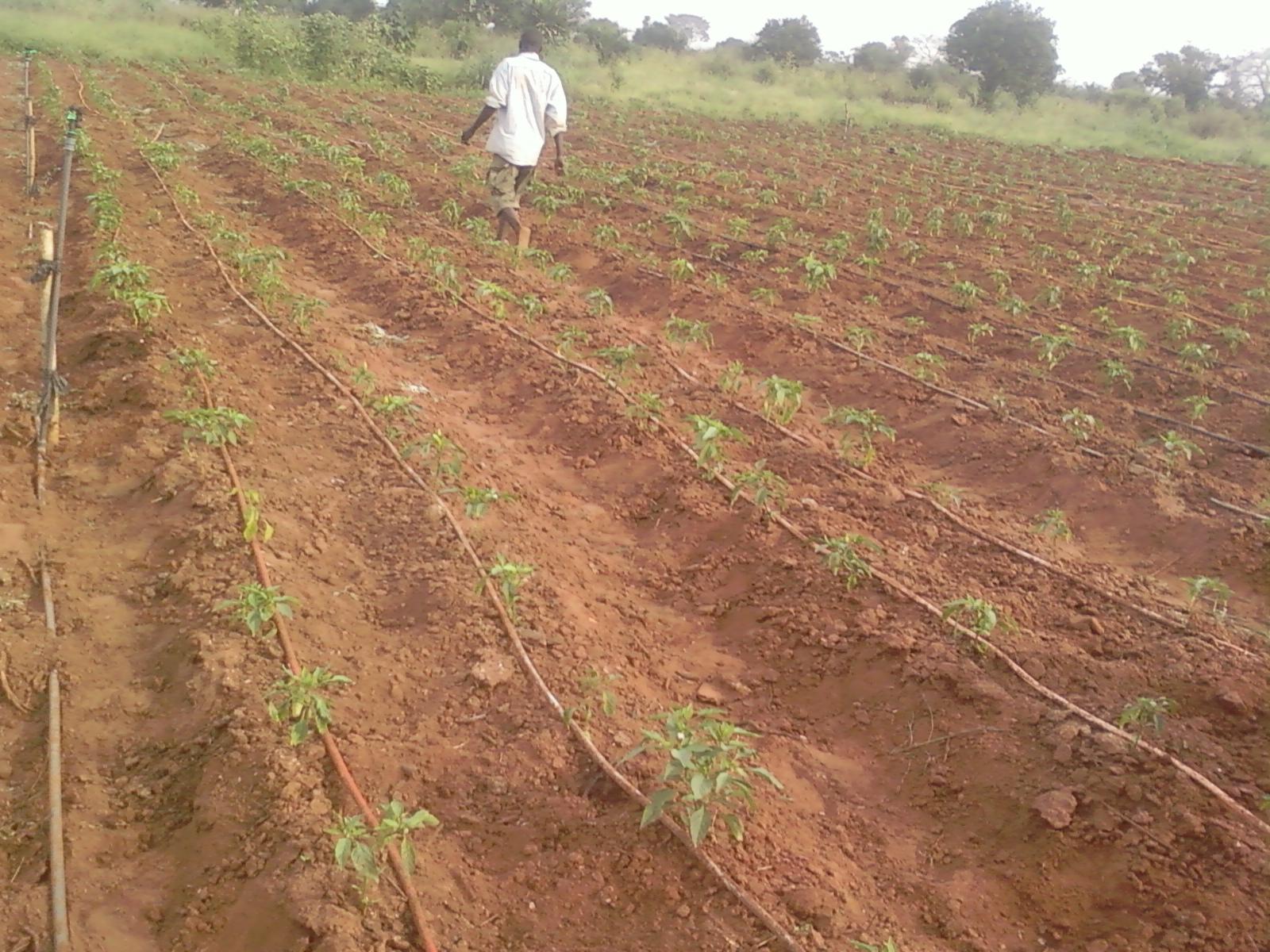 ph wezon: système d'irrigation gout à gout