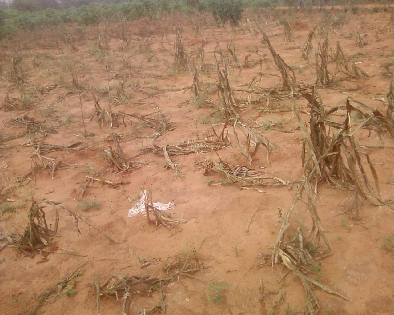 Image wezon: des champs de maïs asséchés par manque d'eau