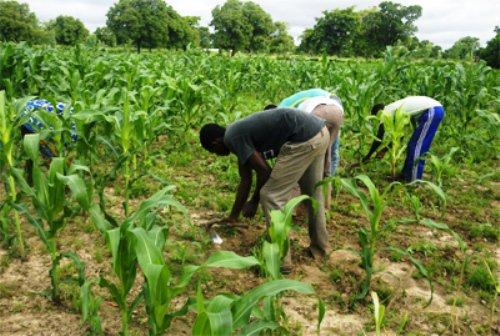 champ-de-mais-agriculture