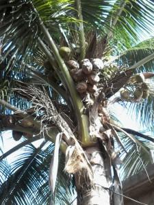 cocotier avec des noix